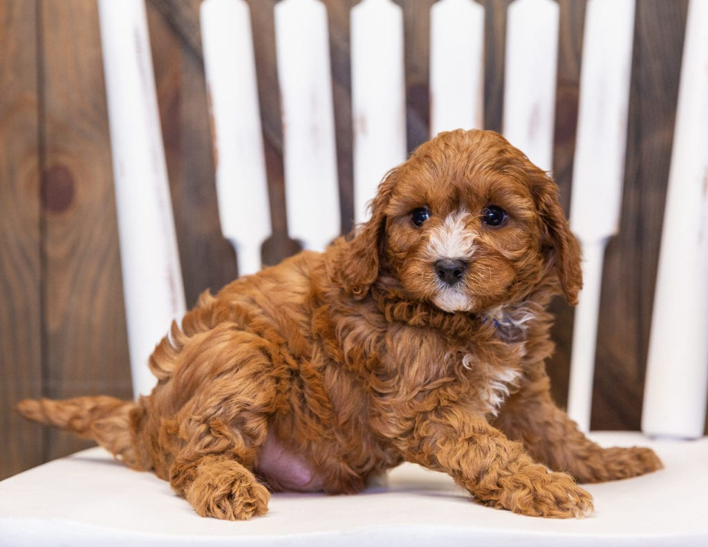 A picture of a Nathan, one of our  Cavapoos puppies that went to their home in South Dakota