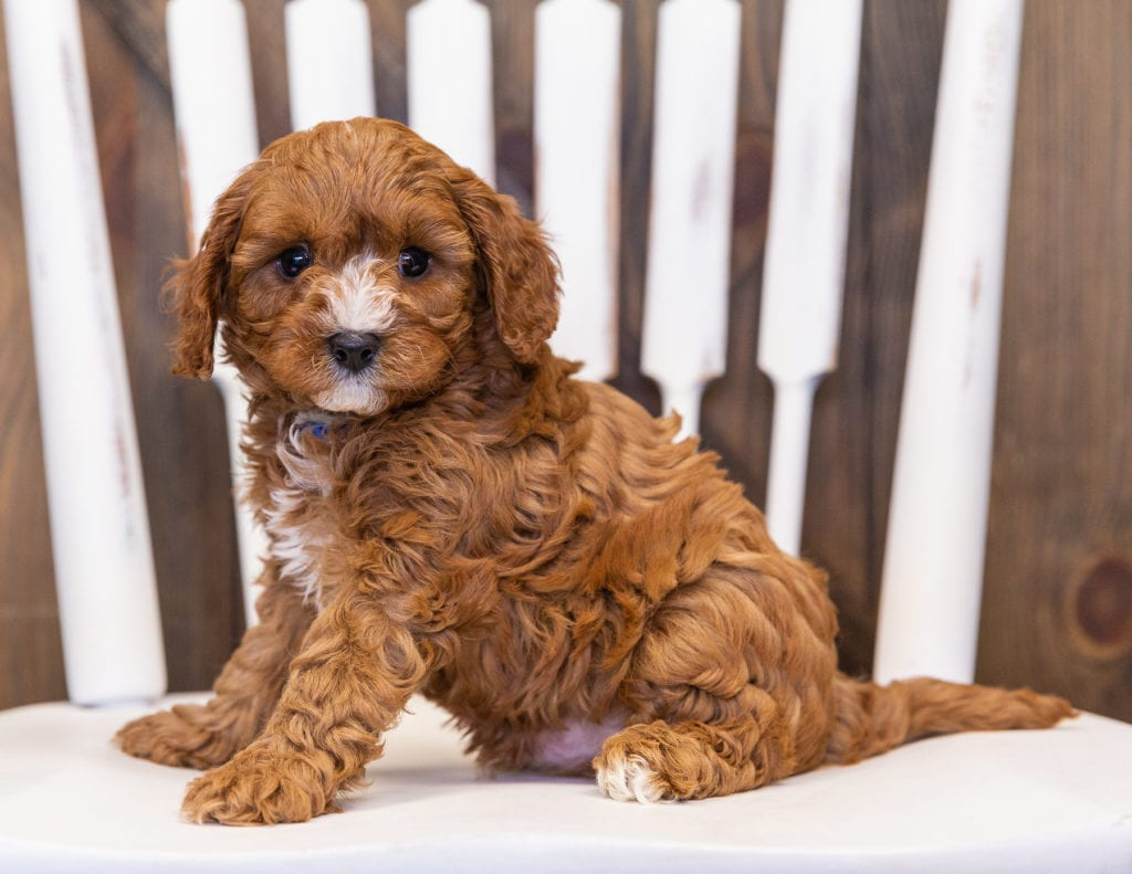 Nathan is an F1 Cavapoo that should have  and is currently living in South Dakota