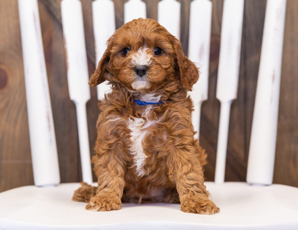 Nathan came from Daisy and Reggie's litter of F1 Cavapoos