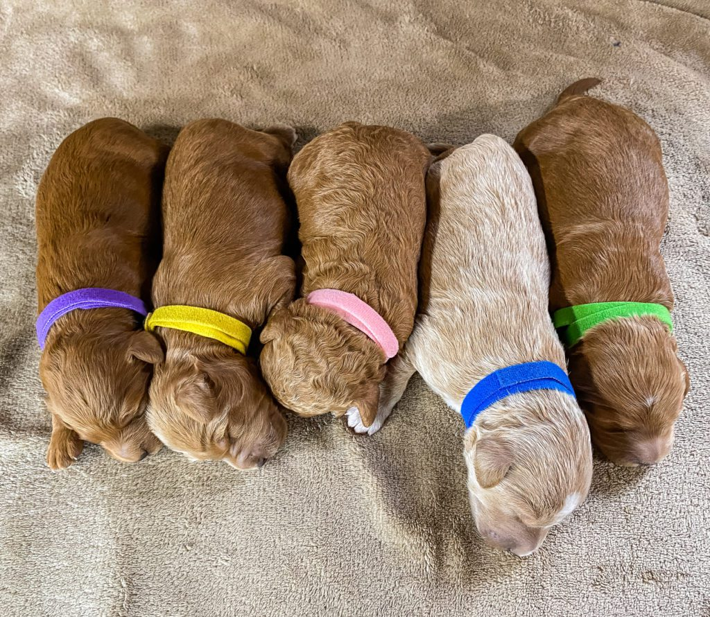 This litter of Goldendoodles are of the F2B generation.