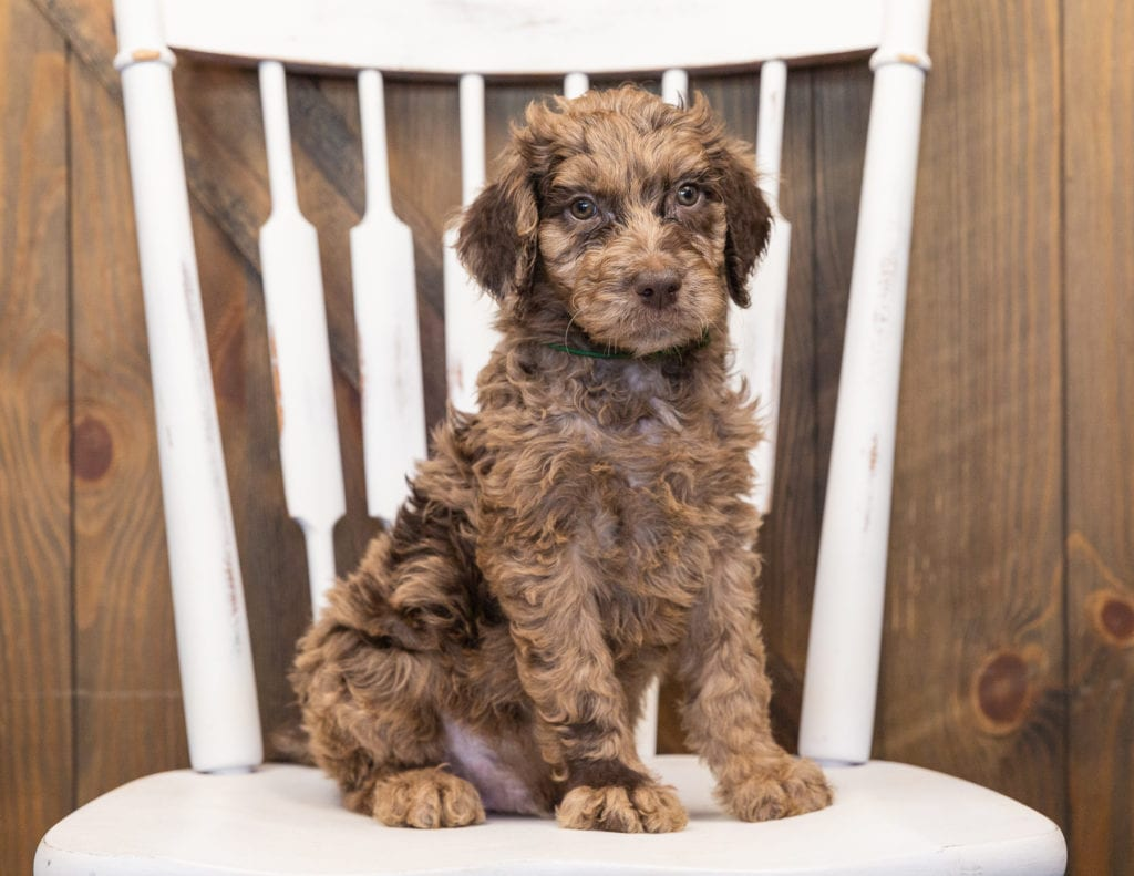 A picture of a Odie, one of our  Goldendoodles puppies that went to their home in Iowa