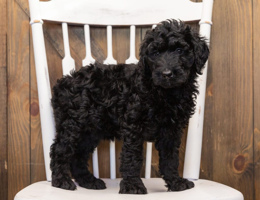 A picture of a Ohana, one of our  Goldendoodles for sale