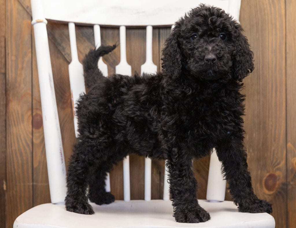 A picture of a Olivia, one of our  Goldendoodles puppies that went to their home in Wisconsin
