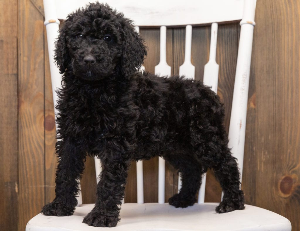 Olivia is an F1B Goldendoodle that should have  and is currently living in Wisconsin