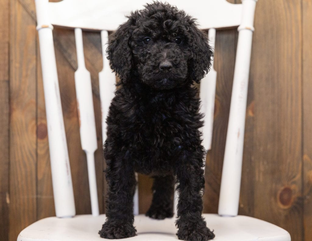 Olivia came from Maci and Merlin's litter of F1B Goldendoodles