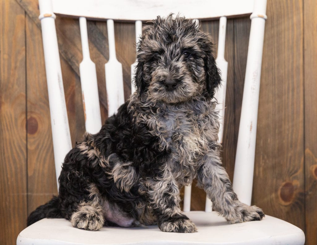 A picture of a Ollie, one of our  Goldendoodles puppies that went to their home in Wisconsin