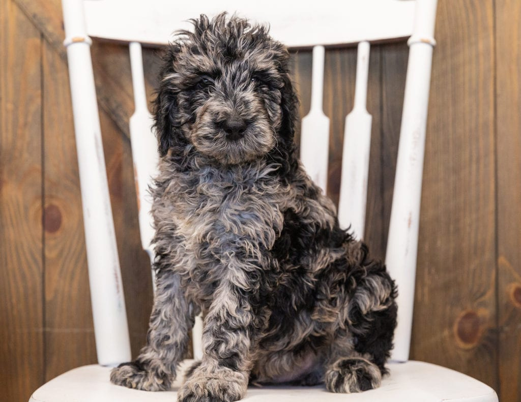 Ollie is an F1B Goldendoodle that should have  and is currently living in Wisconsin