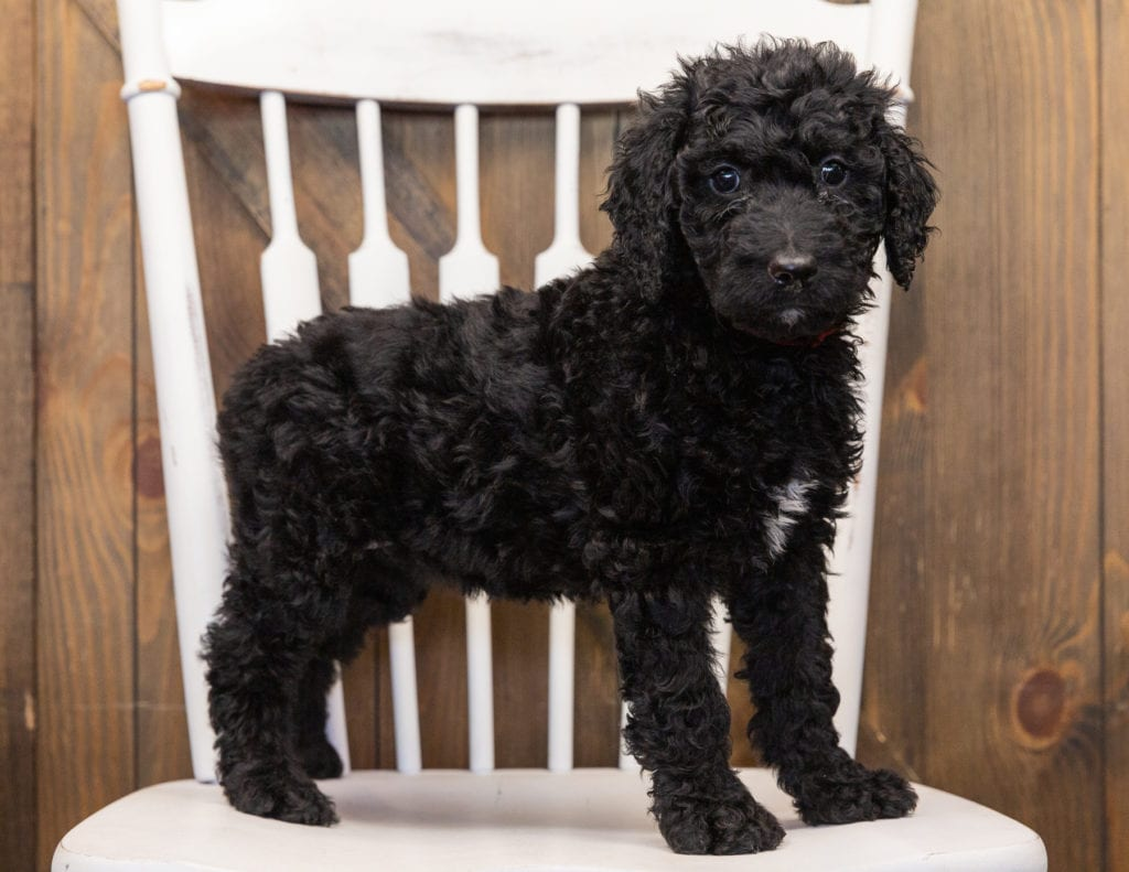 A picture of a Osita, one of our  Goldendoodles for sale