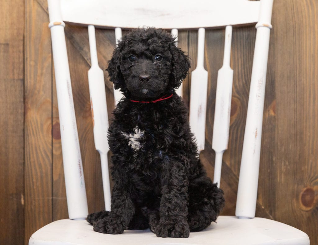 Our cute  Goldendoodles available for sale!
