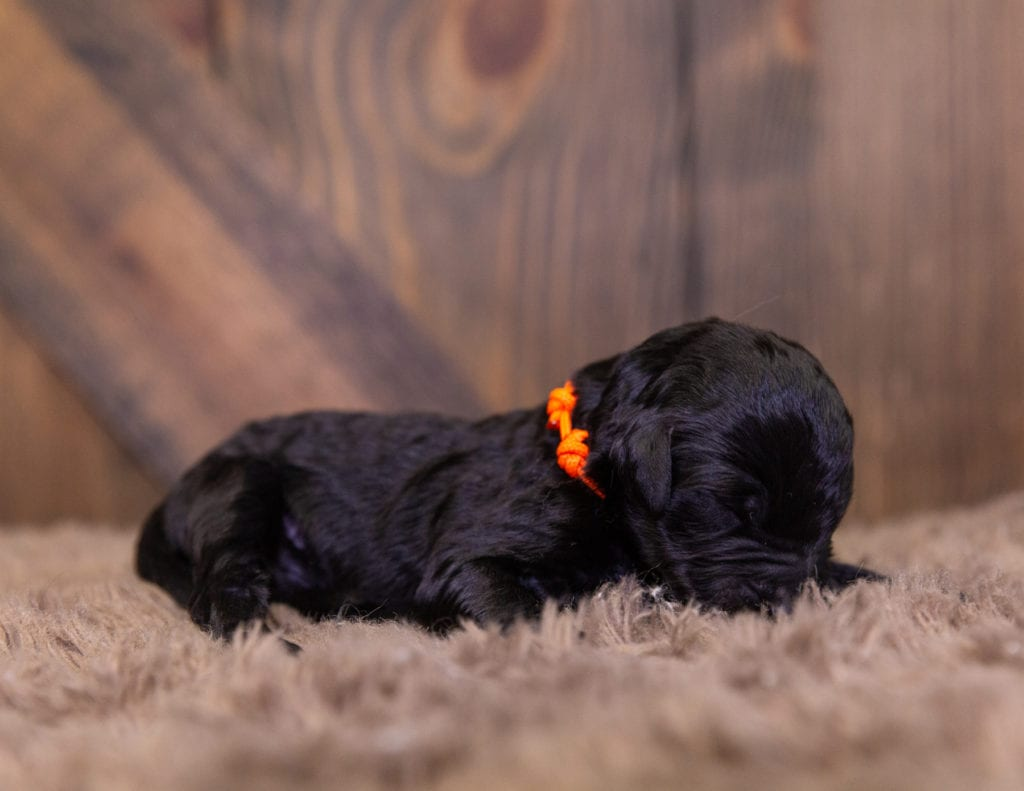 A picture of a Otis, one of our  Goldendoodles for sale