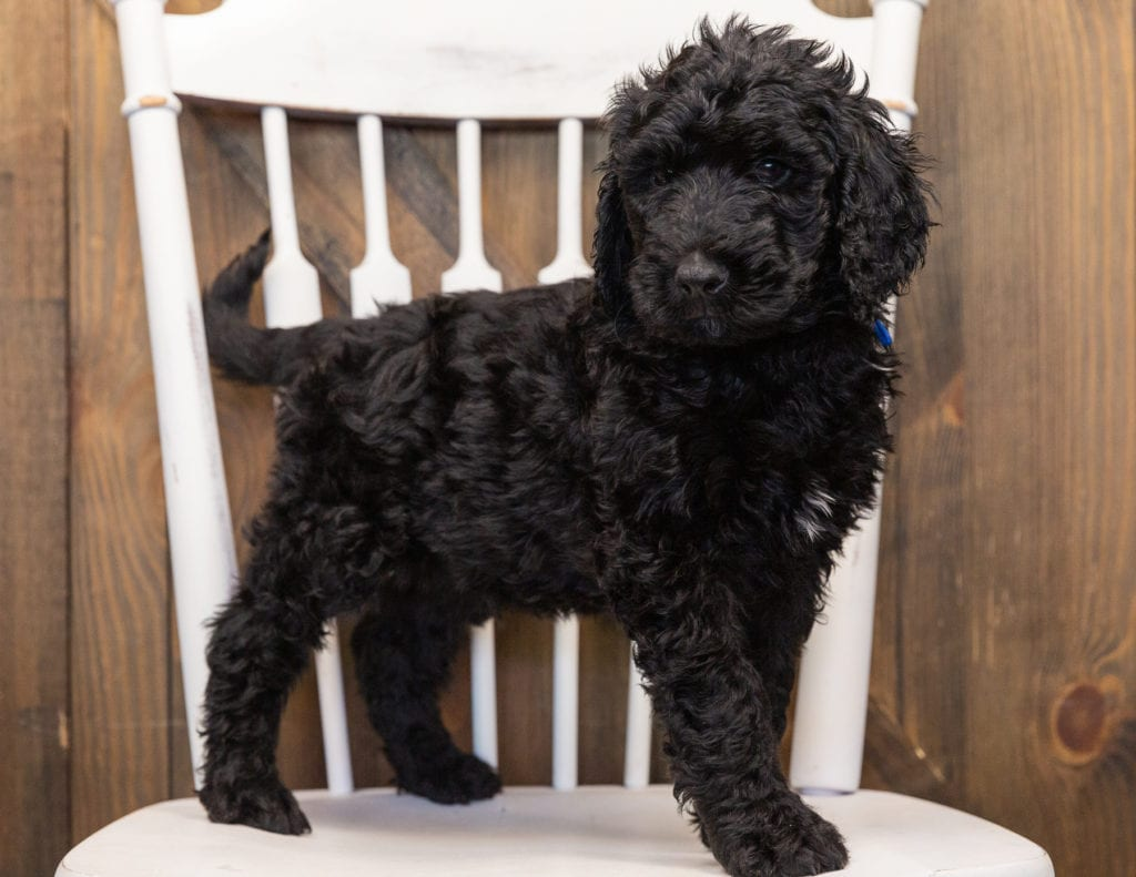 A picture of a Ozzy, one of our  Goldendoodles for sale