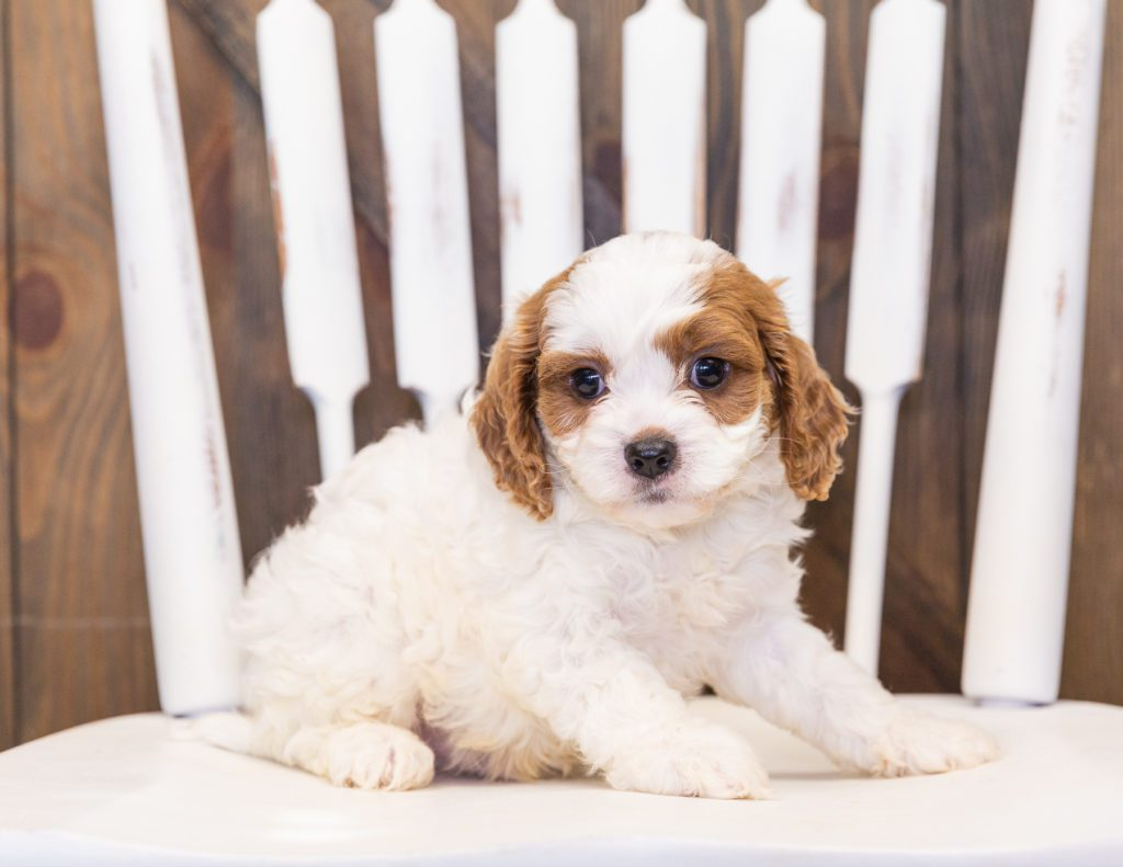 A picture of a Parker, one of our  Cavapoos for sale