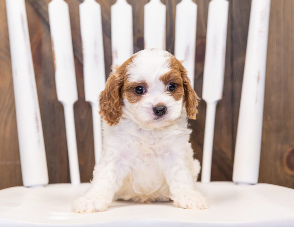 Parker came from Lucy and Reggie's litter of F1 Cavapoos