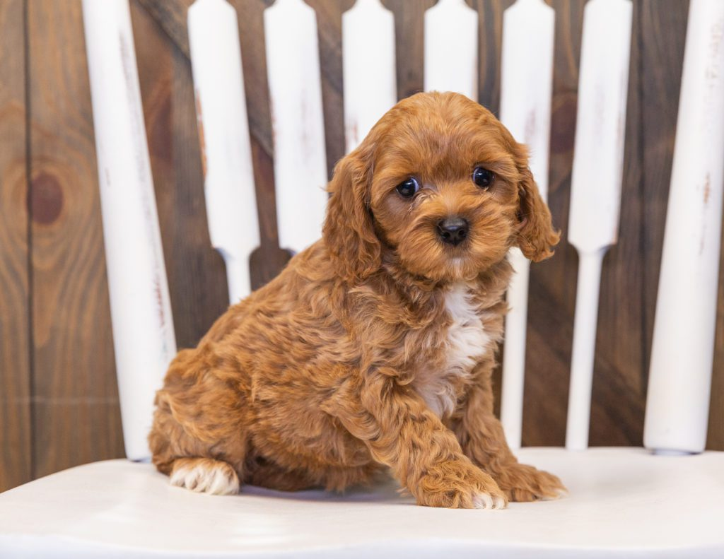 A picture of a Polly, one of our  Cavapoos for sale