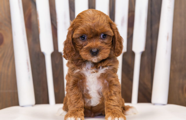 A litter of  Cavapoos raised in Iowa by Poodles 2 Doodles