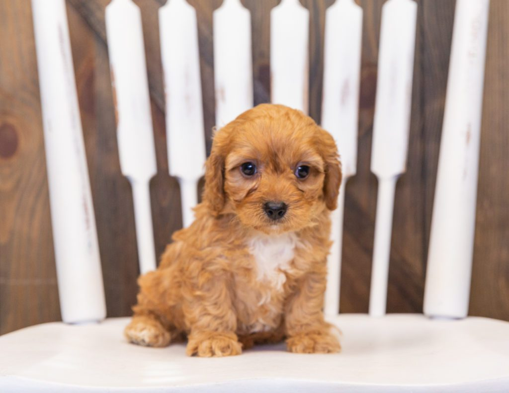 Prancer came from Lucy and Reggie's litter of F1 Cavapoos