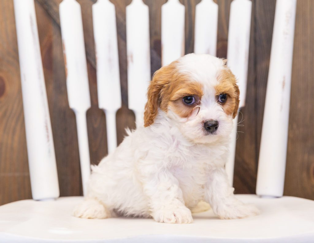 A picture of a Pudge, one of our  Cavapoos for sale