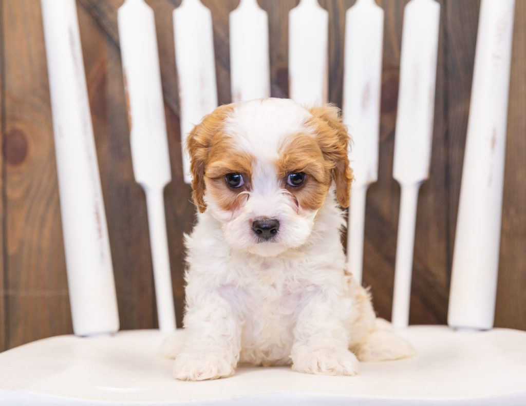 Pudge came from Lucy and Reggie's litter of F1 Cavapoos