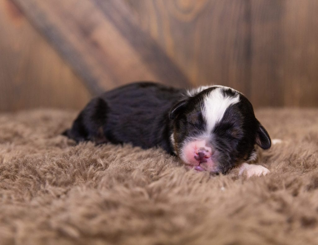 A picture of a Quetin, one of our  Bernedoodles for sale