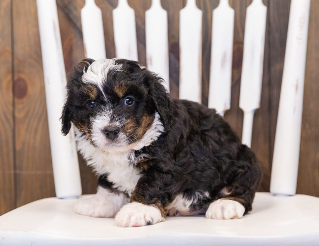 Quetin is an F1 Bernedoodle.