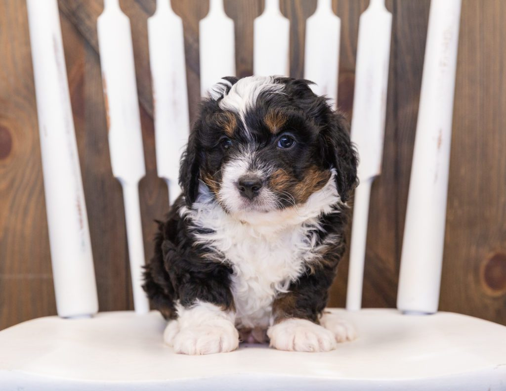 Quetin came from Percy and Stanley's litter of F1 Bernedoodles