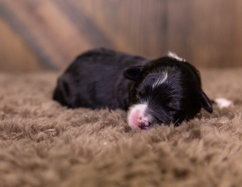 A picture of a Quiggly, one of our  Bernedoodles for sale