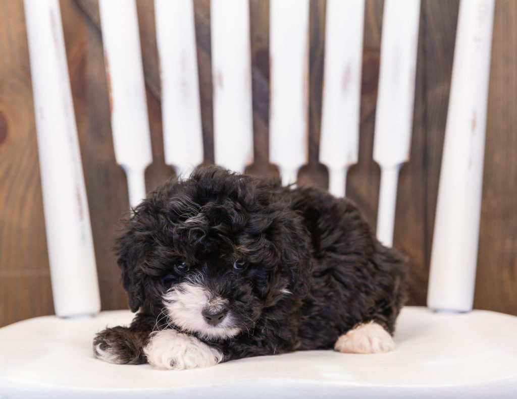 Quiggly is an F1 Bernedoodle.