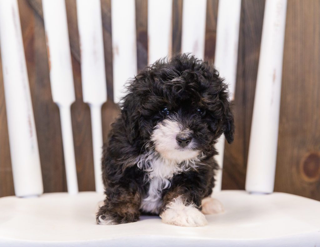 Quiggly came from Percy and Stanley's litter of F1 Bernedoodles