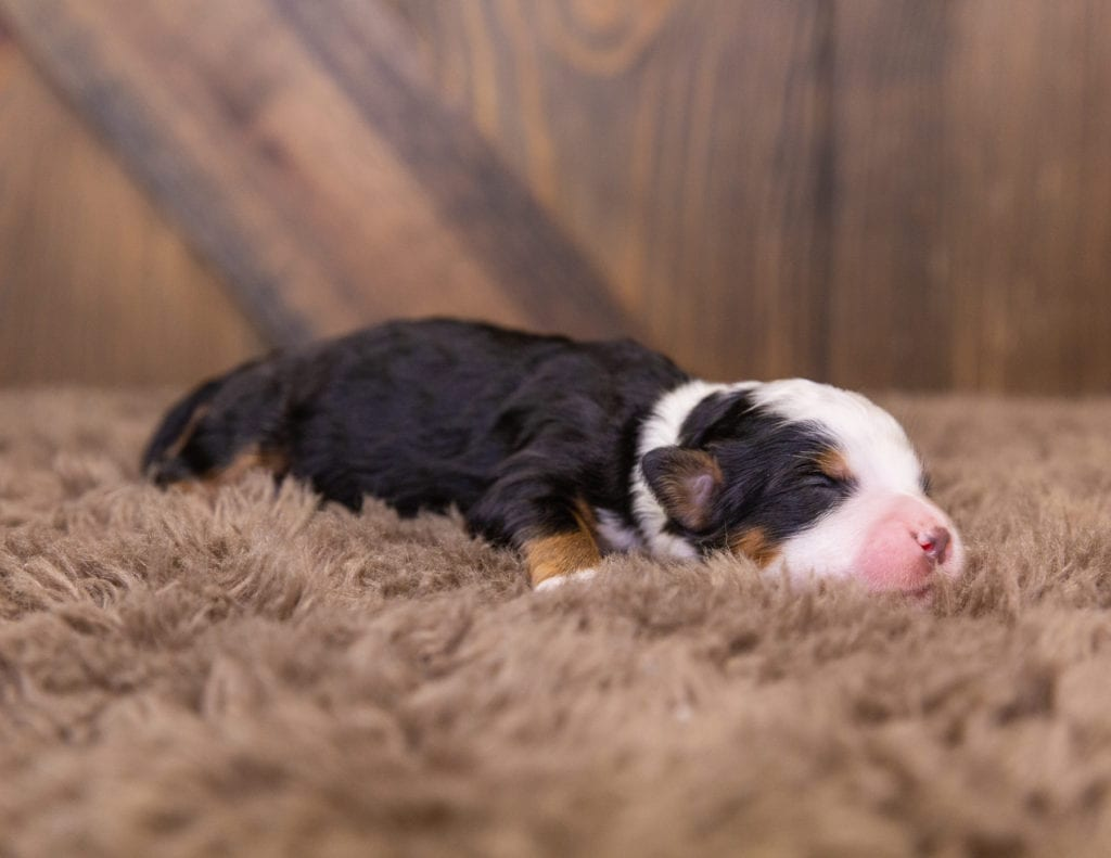 A picture of a Quinnie, one of our  Bernedoodles for sale