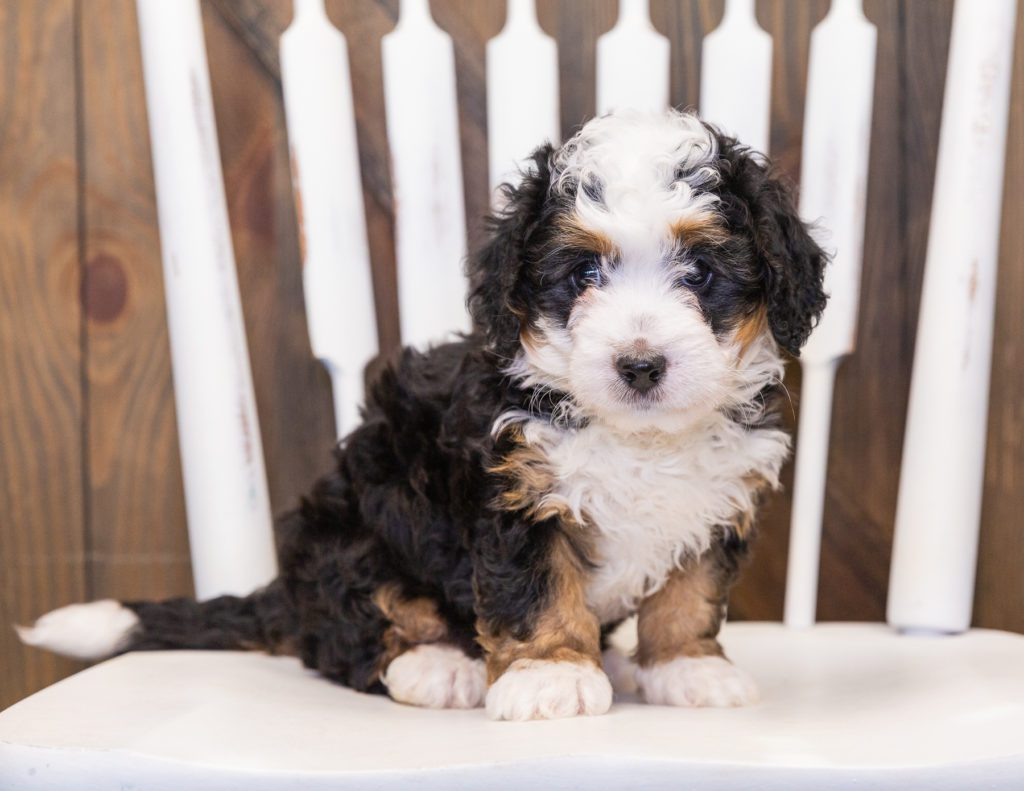 A picture of a Quinnie, one of our  Bernedoodles puppies that went to their home in Missouri