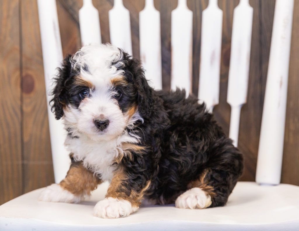 Quinnie is an F1 Bernedoodle that should have  and is currently living in Missouri