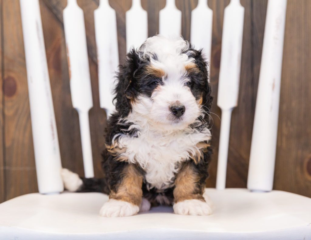 Quinnie came from Percy and Stanley's litter of F1 Bernedoodles