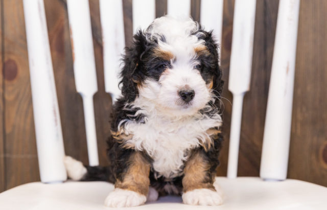 A litter of  Bernedoodles raised in Iowa by Poodles 2 Doodles