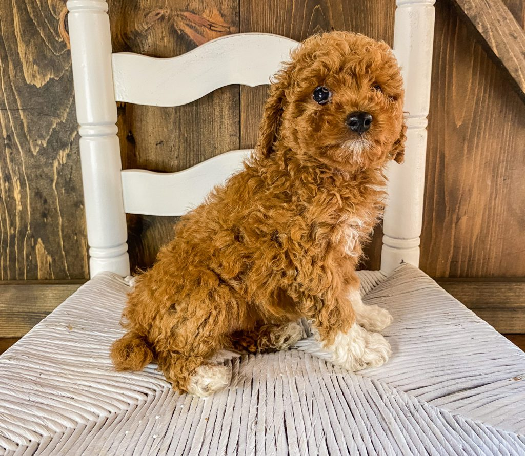 A picture of a Raisin, one of our Mini Goldendoodles puppies that went to their home in Texas