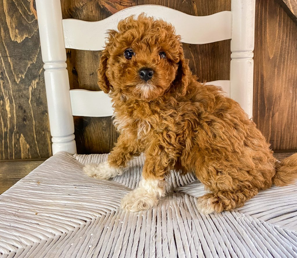 Raisin is an F1BB Goldendoodle that should have  and is currently living in Texas