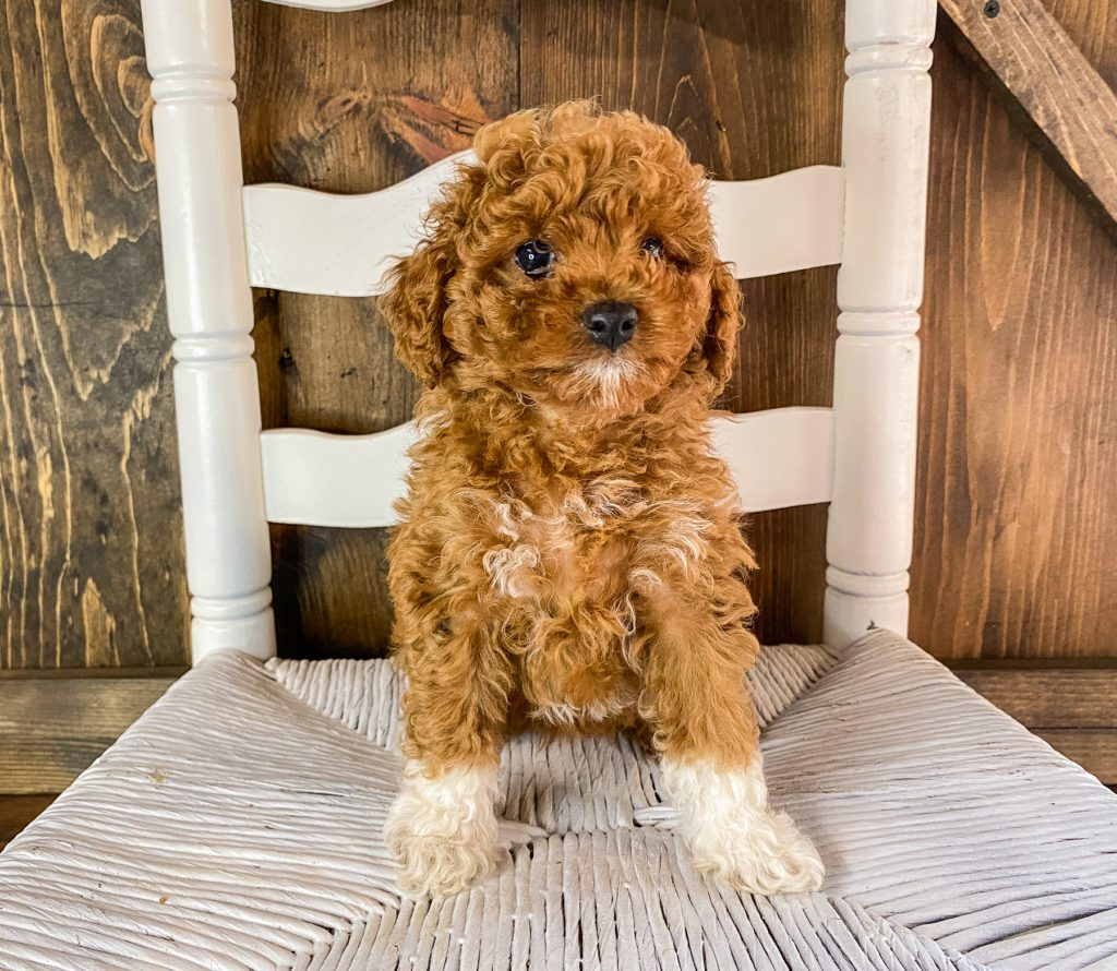 Raisin came from Scarlett and Toby's litter of F1BB Goldendoodles