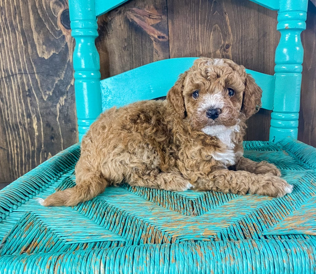 A picture of a Roman, one of our Mini Goldendoodles for sale