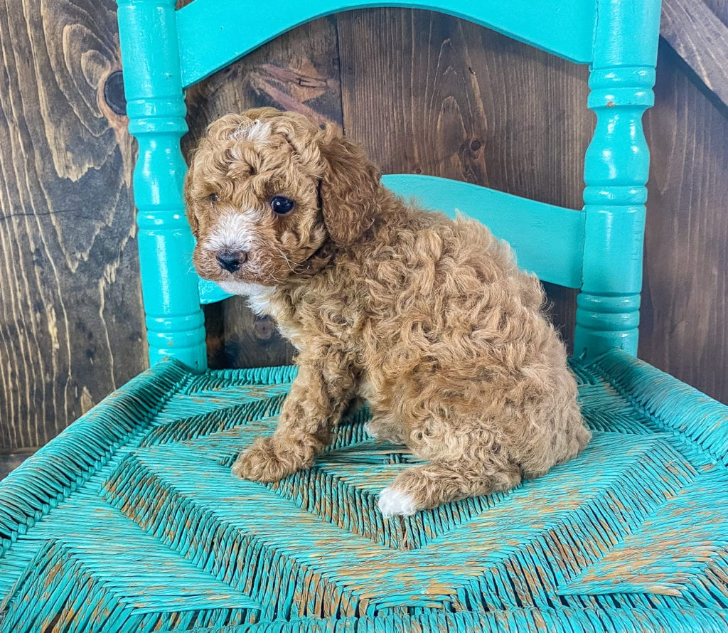Roman is an F1BB Goldendoodle.