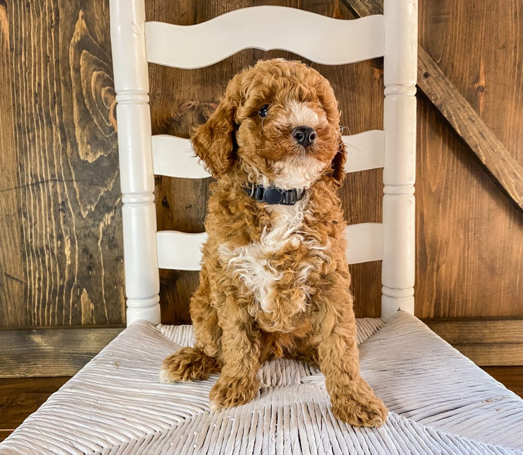 Roman came from Scarlett and Toby's litter of F1BB Goldendoodles
