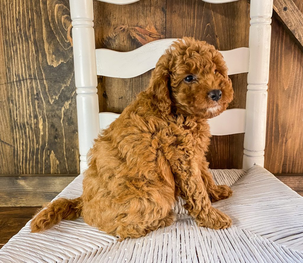 A picture of a Rue, one of our Mini Goldendoodles for sale