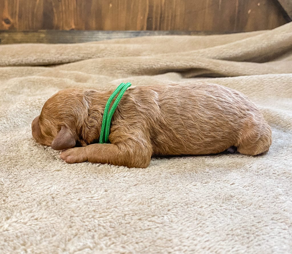Rue is an F1BB Goldendoodle.