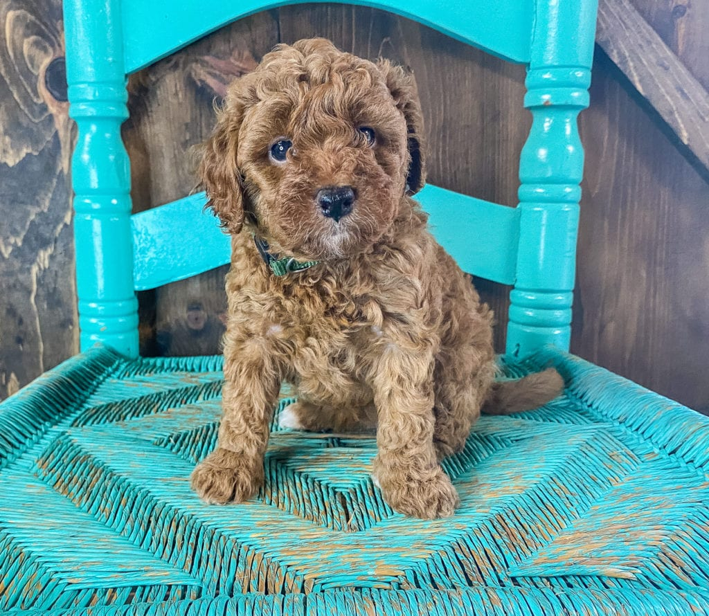 Rue came from Scarlett and Toby's litter of F1BB Goldendoodles