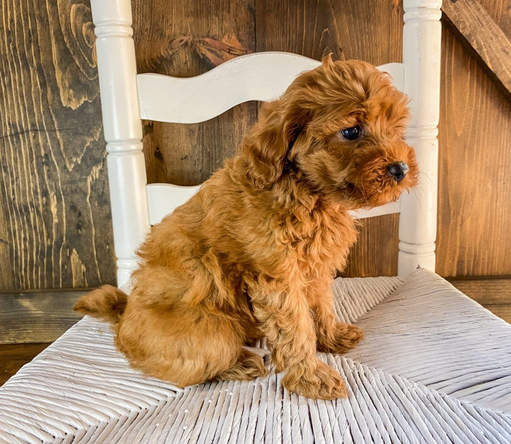 A picture of a Ruthie, one of our Mini Goldendoodles puppies that went to their home in California