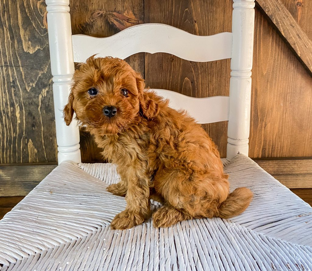 Ruthie is an F1BB Goldendoodle that should have  and is currently living in California