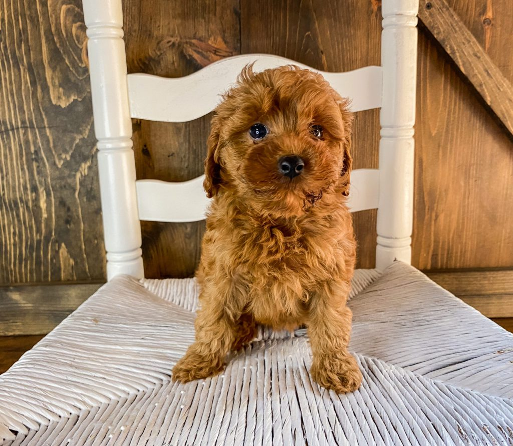 Ruthie came from Scarlett and Toby's litter of F1BB Goldendoodles