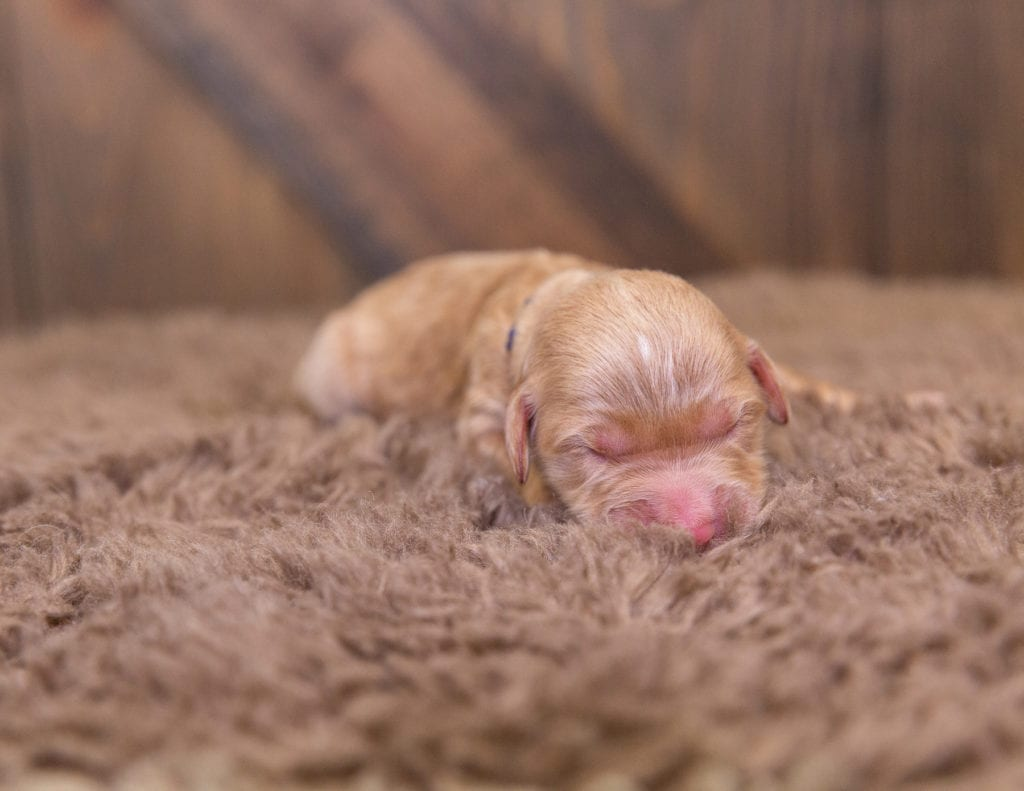 A picture of a Sammy, one of our  Goldendoodles for sale