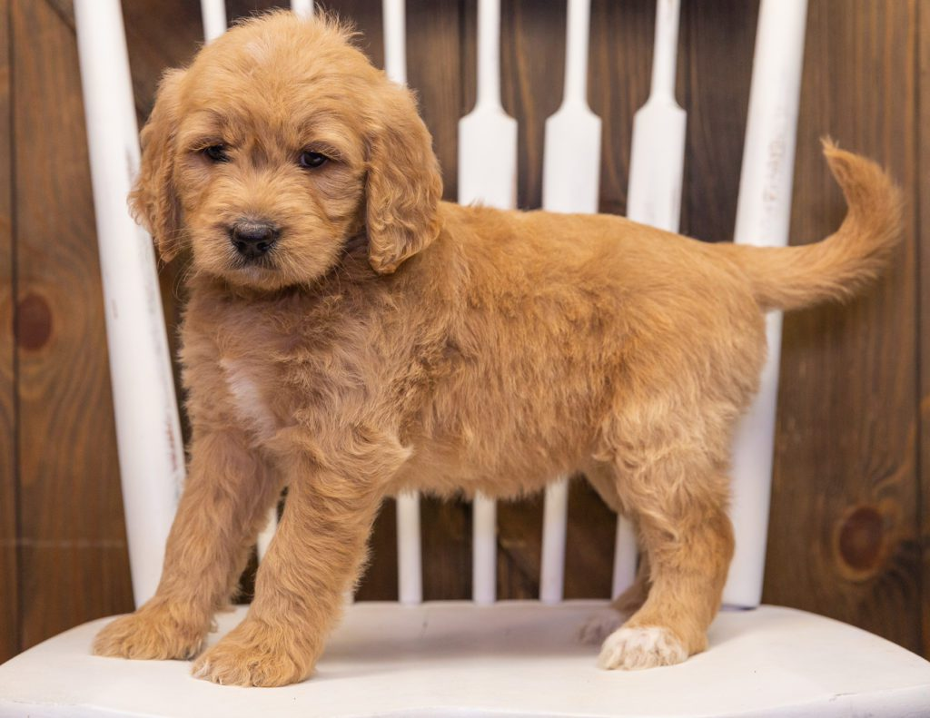 Sammy is an F1 Goldendoodle.