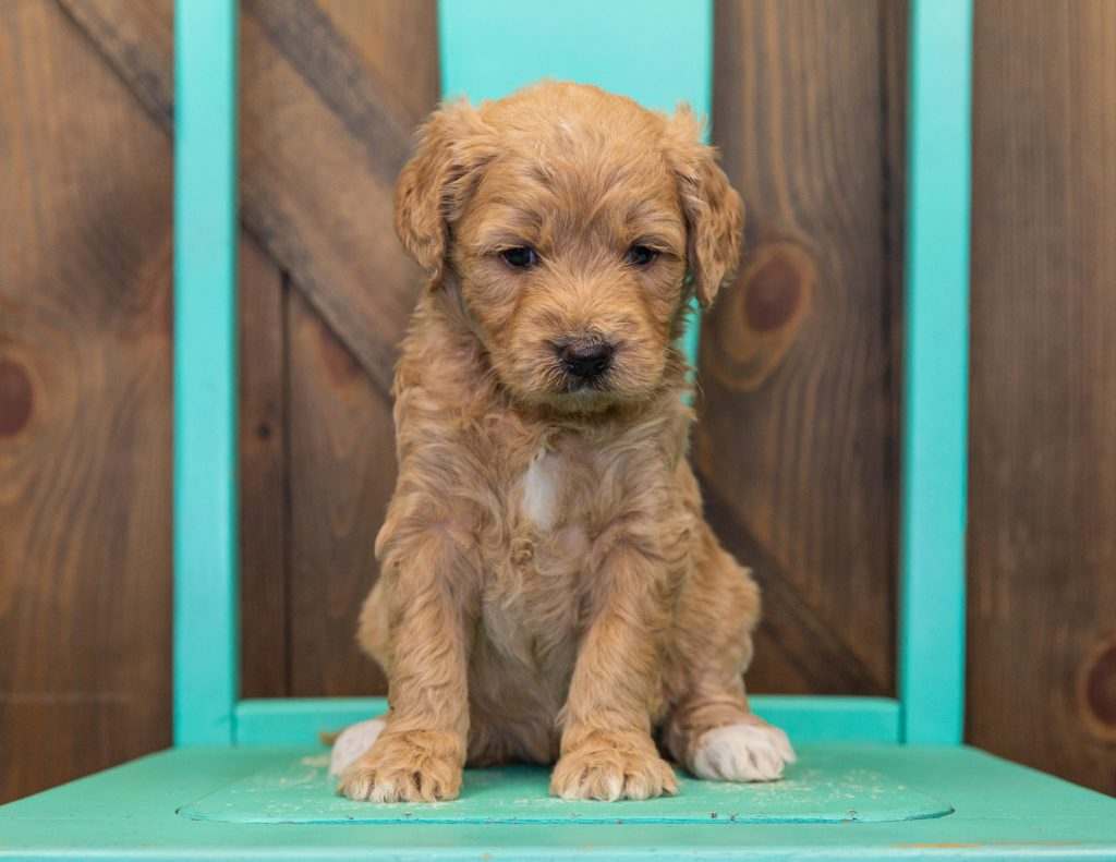 Our cute Standard Goldendoodles available for sale!