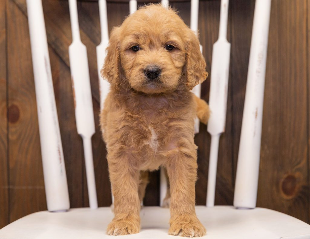 Sammy came from KC and Scout's litter of F1 Goldendoodles