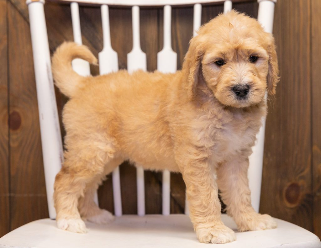 A picture of a Sandy, one of our  Goldendoodles puppies that went to their home in Wisconsin